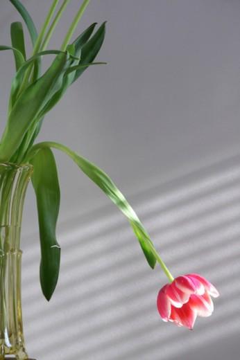 Stock Photo: 1598R-9987147 Tulip in a Vase
