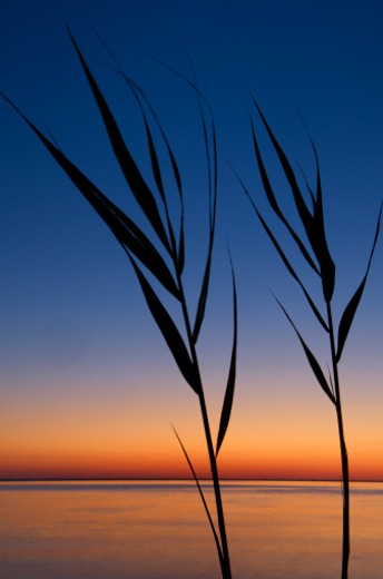 grasses at dusk : Stock Photo