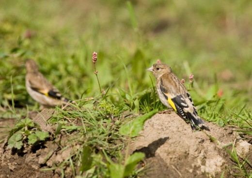 Stock Photo: 1598R-9987969 Goldfinch Juvenile Carduelis carduelis  Lamesley Water Meadows Gateshead Tyne and Wear UK