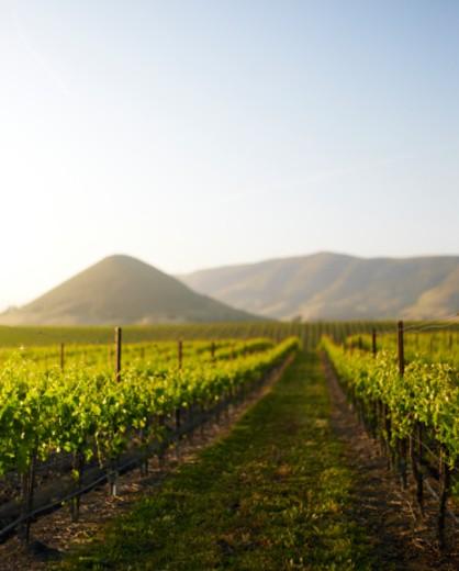 vineyardin edna valley : Stock Photo