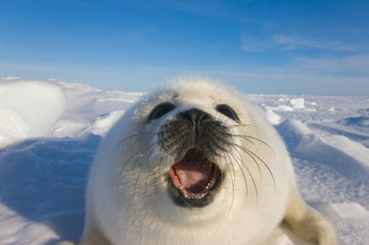 Baby Artic Seal in Canada : Stock Photo