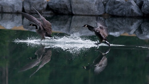 Two geese landing in still water. : Stock Photo