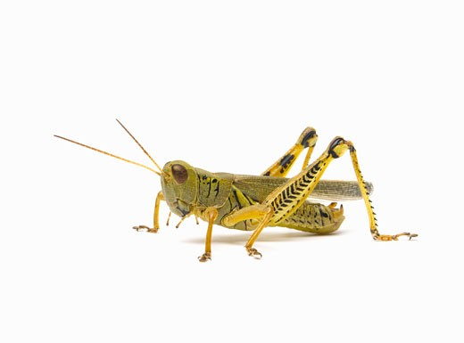 Stock Photo: 1598R-9988975 Grasshopper side view