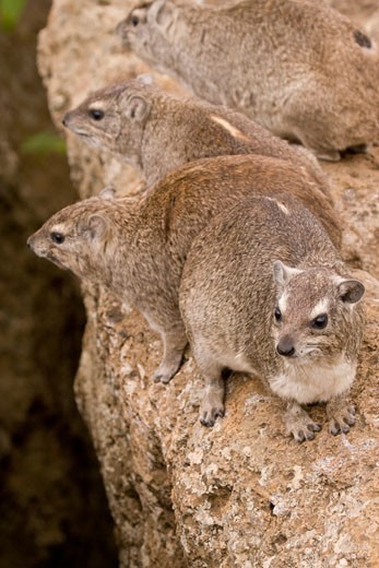 Mountain Hyrax or Rock Hyrax (Procavia capensis) in the wild in Nairobi National Park, Kenya, Africa. : Stock Photo