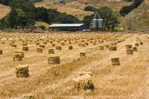 Field with hay packs, Solvang, California, USA : Stock Photo