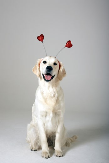 Dog wearing headband with hearts : Stock Photo