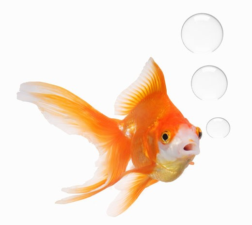 Goldfish with three bubbles coming out of its mouth : Stock Photo
