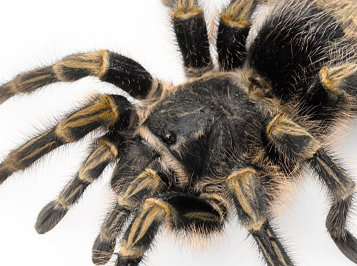 Tarantula closeup : Stock Photo