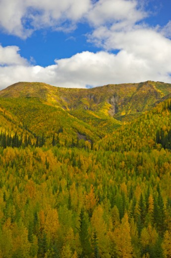 Roadside forest on the Alaska Highway, Muncho Lake Provincial Park, British Columbia. September 2008. : Stock Photo