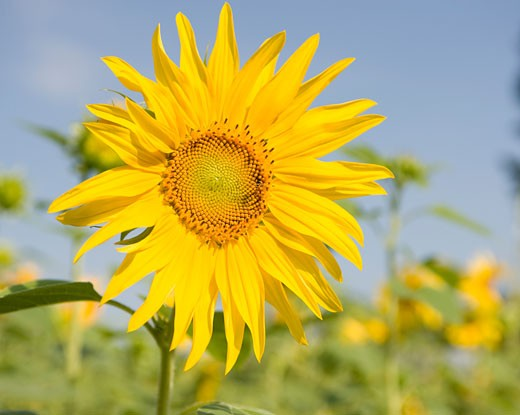 Stock Photo: 1598R-9994568 Sunflowers in a field