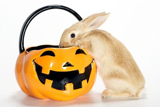 Bunny rabbit in halloween pumpkin basket : Stock Photo