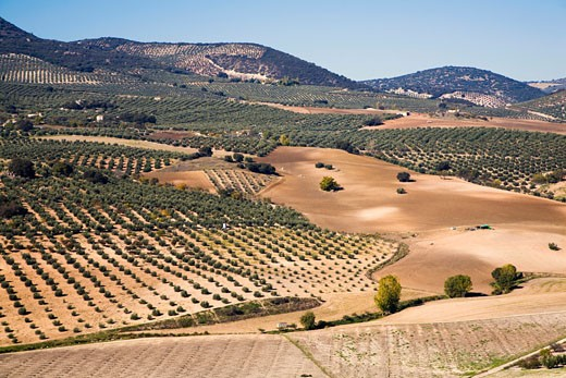 Spain, Andalusia, olive orchards : Stock Photo