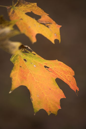 Stock Photo: 1598R-9995796 Autumn leaves
