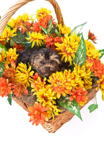 Stock Photo: 1598R-9995860 A Yorkie-Poo puppy in a basket of artificial flowers