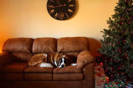 Stock Photo: 1598R-9997003 St. Bernard dog on sofa next to Christmas tree.