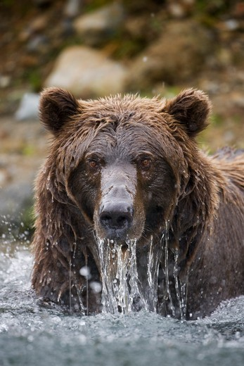USA, Alaska, Katmai National Park, Kinak Bay, Brown Bear (Ursus arctos) emerges soaking wet from river while fishing for spawning salmon on autumn day : Stock Photo