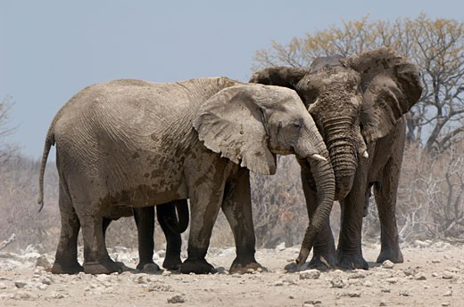 Stock Photo: 1598R-9997984 African elephants (Loxodonta africana) nudge one another in greeting