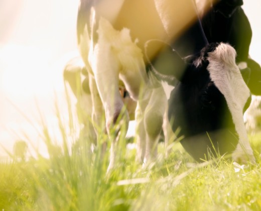 Stock Photo: 1598R-9999015 close up of dairy cow eating grass