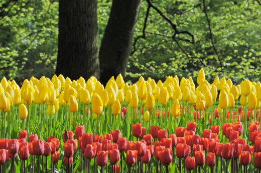 Stock Photo: 1598R-9999300 Springtime Garden Design with Tulip.  Keukenhof Gardens, Lisse, Holland, Europe.