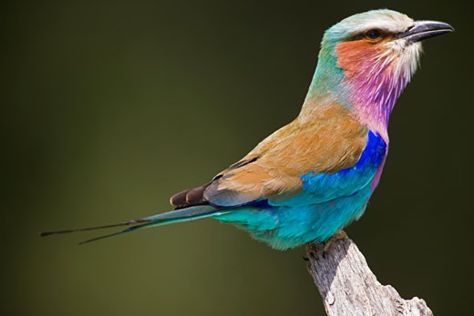 Colorful Lilac-Breasted Roller, Coracias caudata : Stock Photo