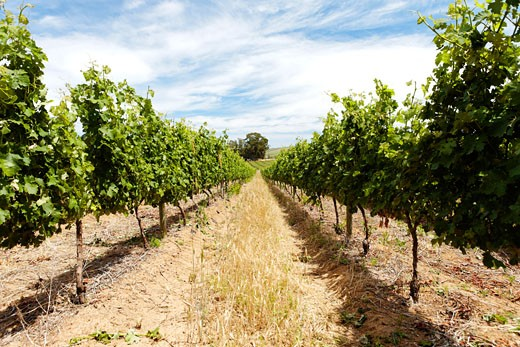 rows of grapetree in the summer sunlight on a south african winery : Stock Photo