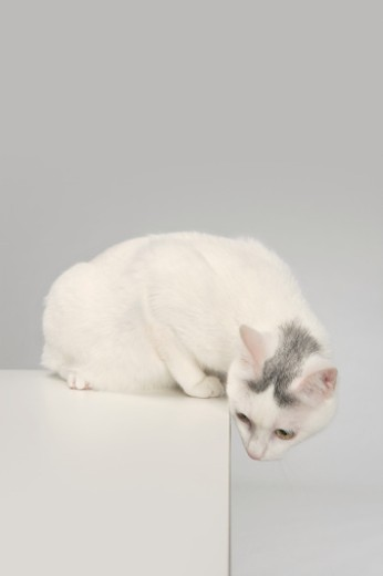 Stock Photo: 1598R-9999742 cat looking over an edge