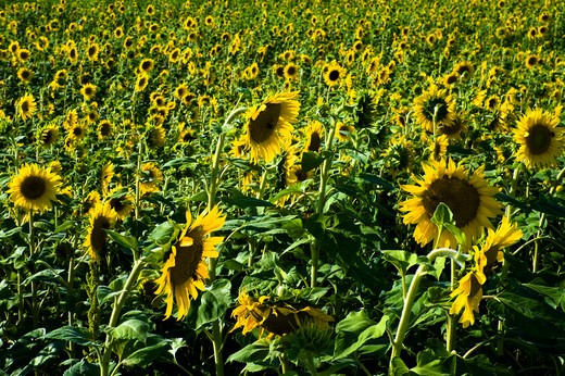 Sunflower field in one summer day : Stock Photo