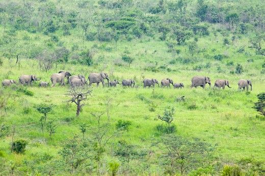 Stock Photo: 1599-15034 Herd of elephants in the brush in Umfolozi Game Reserve, South Africa, established in 1897