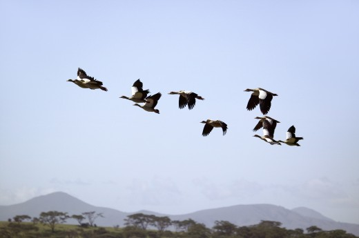 Egyptian Geese fly in formation above Lake Naivasha, Great Rift Valley, Kenya, Africa : Stock Photo