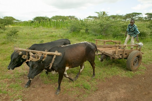 Boy rides on cart with ox at the Lewa Wildlife Conservancy, North Kenya, Africa : Stock Photo
