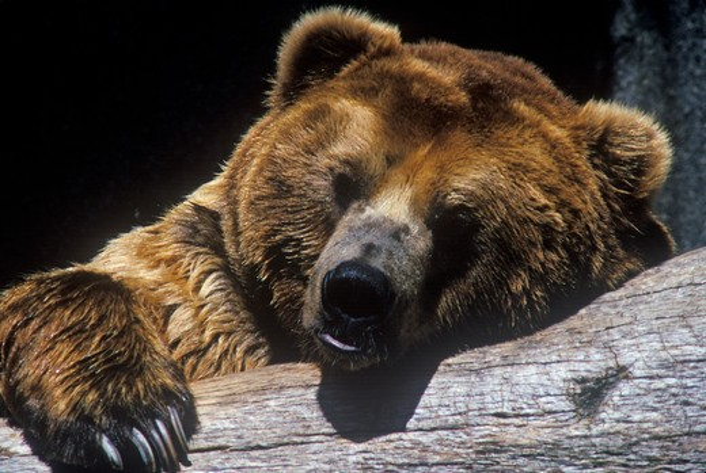 Alaskan Brown Bear at San Diego Zoo, CA., ursus arotos gyas : Stock Photo