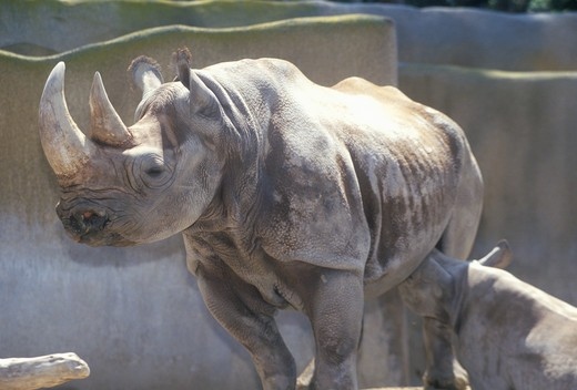 Rhinoceros with baby, San Diego Zoo, CA : Stock Photo