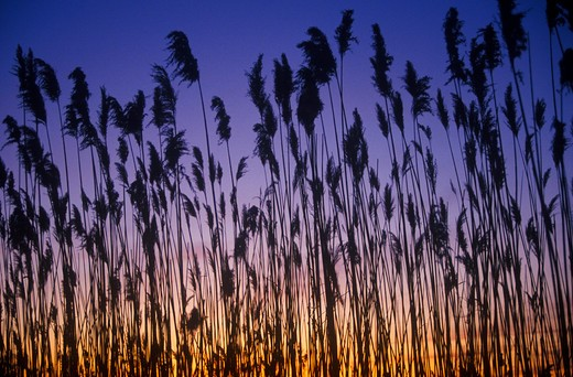 Stock Photo: 1599-8837 Silhouette of reeds in marsh at sunset, Delaware Bay, DE