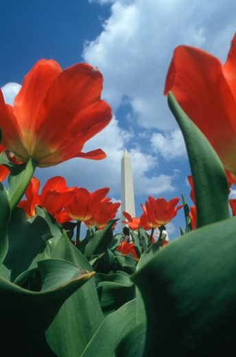Washington Monument with red tulips in spring, Washington D.C. : Stock Photo