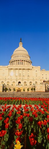 The Capitol & tulip garden, Washington, DC : Stock Photo