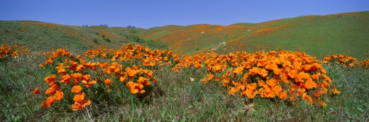Poppies and Wildflowers, Antelope Valley, California : Stock Photo