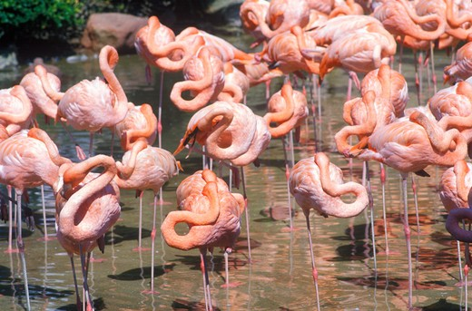Group of Pink Flamingos in water, Sea World, San Diego, CA : Stock Photo