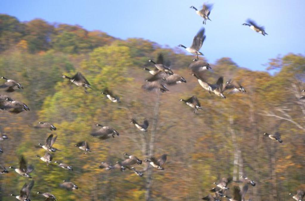 Geese taking flight in Autumn, NY : Stock Photo