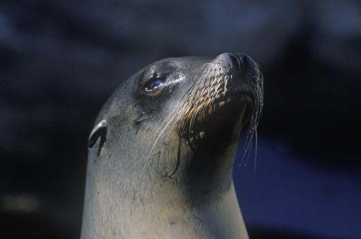 Close-up of seal, Sea World, San Diego, CA : Stock Photo