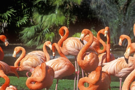 Stock Photo: 1599R-22568 Pink Flamingoes, San Diego Zoo, CA