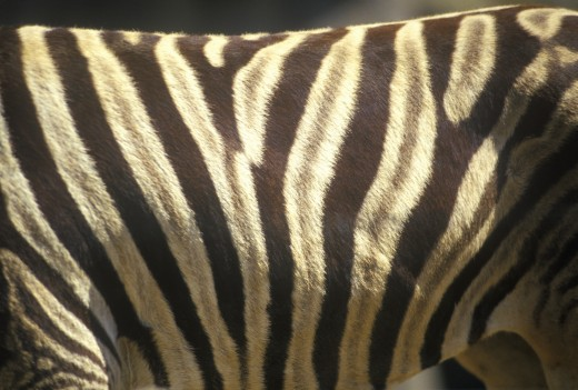 Close-up of Zebra stripes, San Diego Zoo, CA, Damara Zebra, Equus burohellii antiquotum : Stock Photo