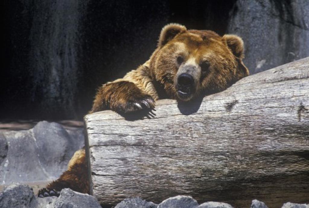 Stock Photo: 1599R-22571 Alaskan Brown Bear at San Diego Zoo, CA., ursus arotos gyas