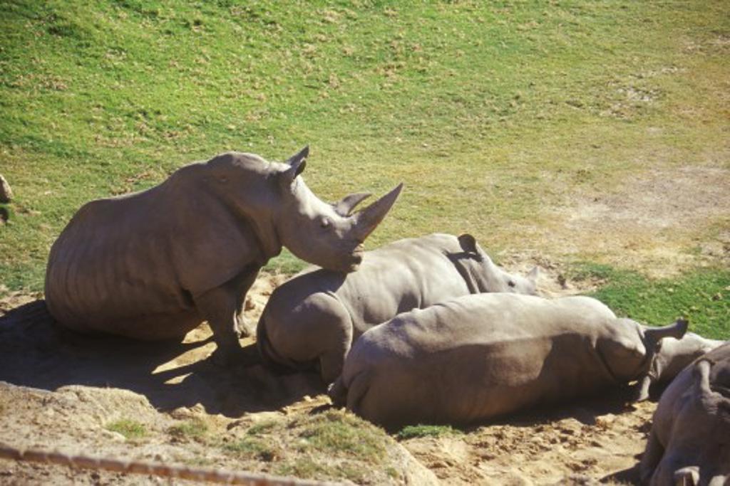 Stock Photo: 1599R-22576 Rhinoceros sunning at San Diego Zoo, CA