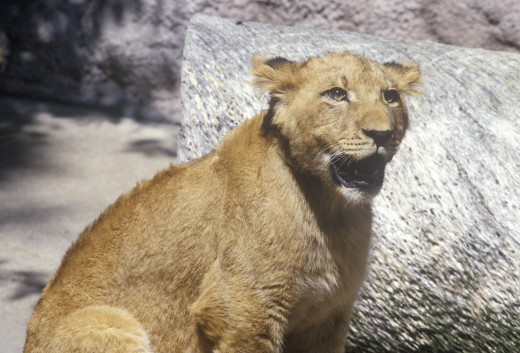 Transvaal Lion, Panthera leo krugeri from Republic of South Africa : Stock Photo