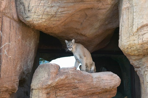 Stock Photo: 1599R-22589 Mountain lion sitting on rock in Arizona-Sonora Desert Museum in Tucson, AZ