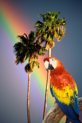 Composite image of a colorful parrot, palm trees and rainbow in Hawaii : Stock Photo
