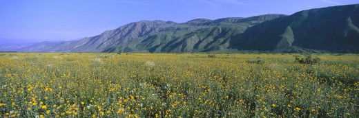 Stock Photo: 1599R-23764 Panoramic view of Desert Lillies and Desert gold yellow flowers in spring fields of Anza-Borrego Desert State Park, California