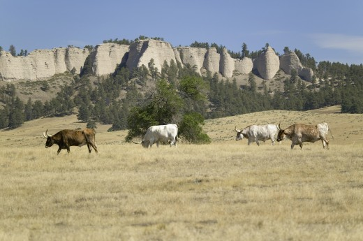 Texas Longhorn cattle grazing on land adjoining historic Fort Robinson, Nebraska : Stock Photo