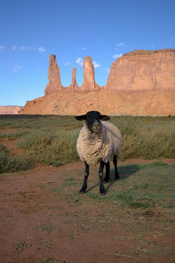 Sheep posing in front of red buttes and colorful spires of Monument Valley Navajo Tribal Park, Southern Utah near Arizona border : Stock Photo