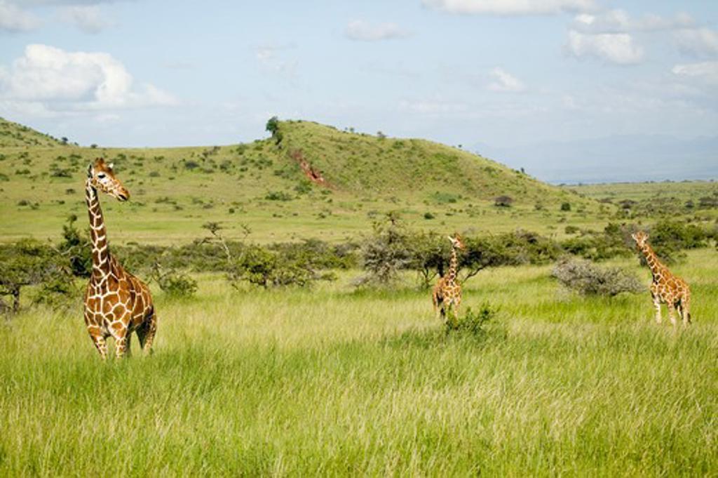 Stock Photo: 1599R-29983 Three Masai Giraffe at the Lewa Wildlife Conservancy, North Kenya, Africa